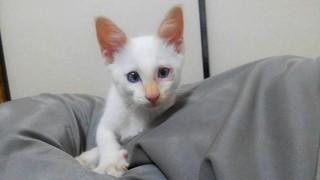 白い子猫 里親.JPG