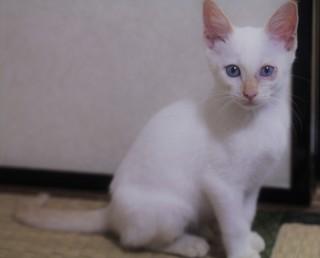 白い子猫 里親2.JPG