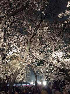 靖国の桜.jpg